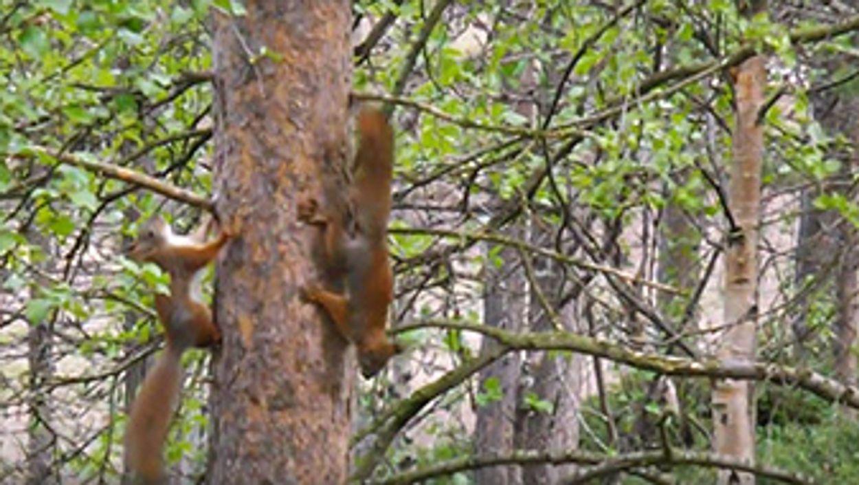 Afbeelding van Spelende eekhoorntjes