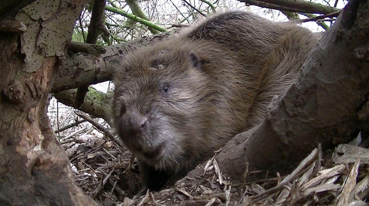 Afbeelding van 'Beaver deceiver' tegen beveroverlast