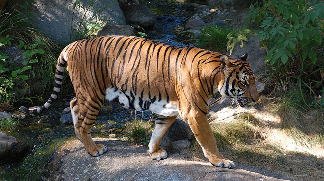 Afbeelding van Groep zeldzame tijgers ontdekt in Thailand