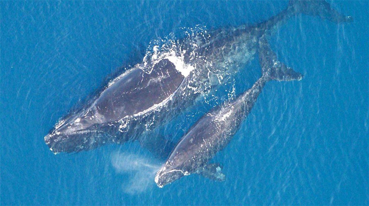 Afbeelding van Zes dode walvissen in een maand bij Canada