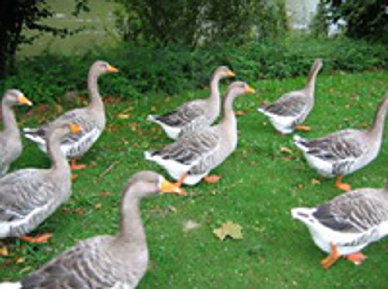Afbeelding van Texel, vogeleiland, vergast zijn ganzen!