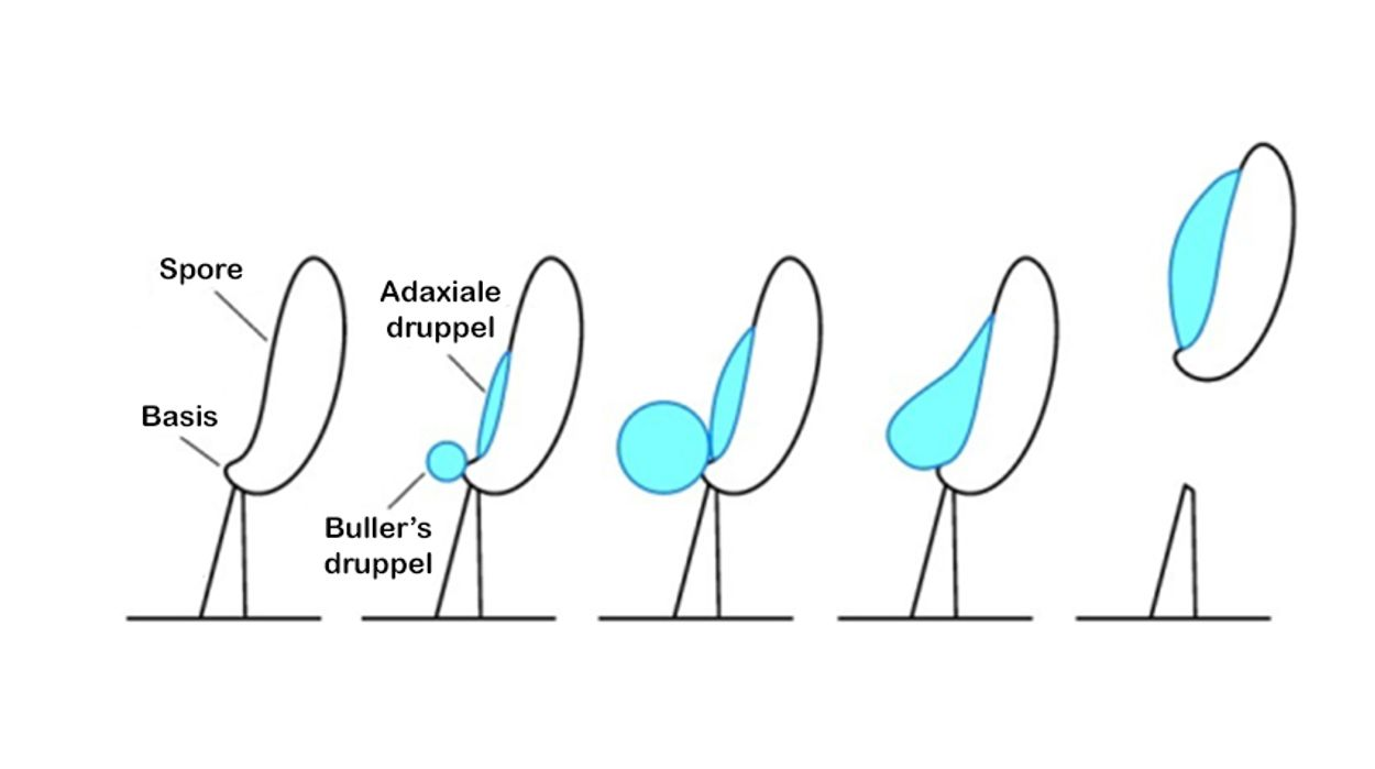 Basidiospore schieten