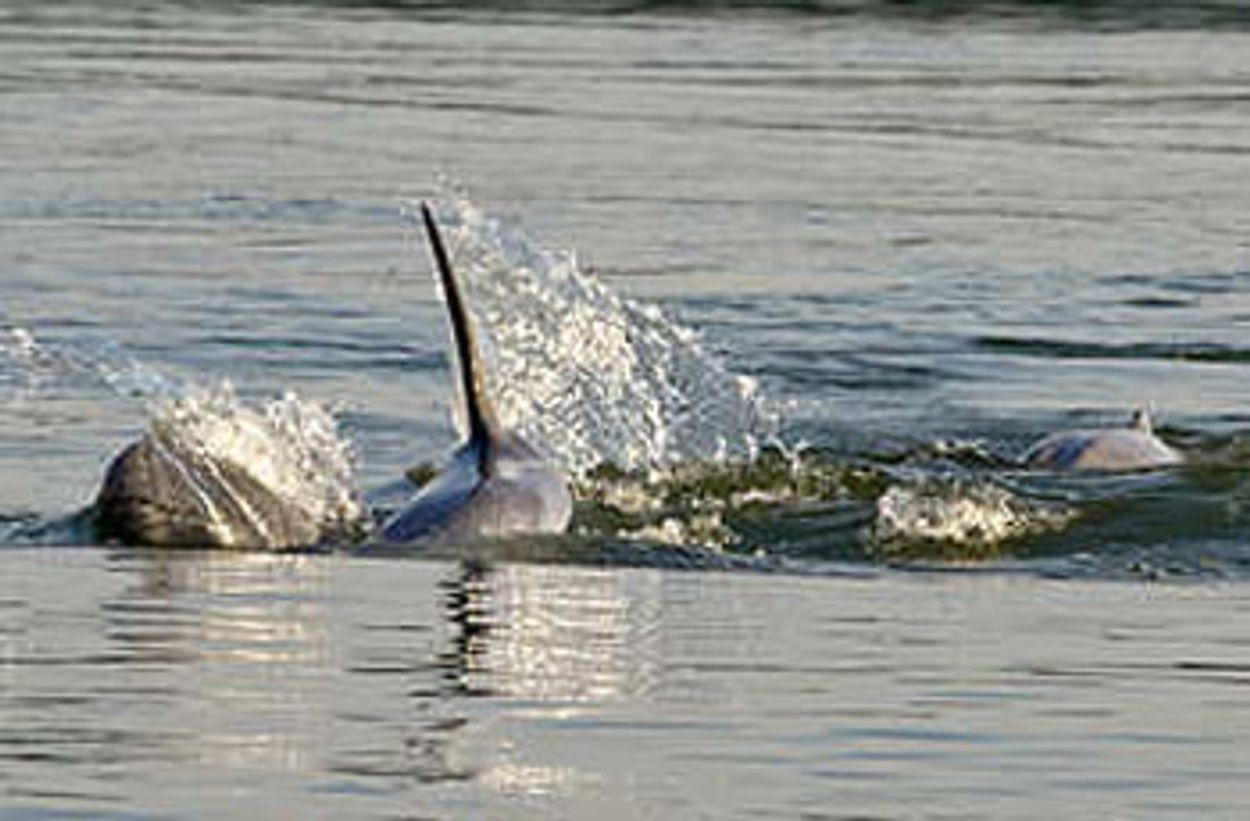 Afbeelding van Rivierdolfijn onder druk in de Mekong