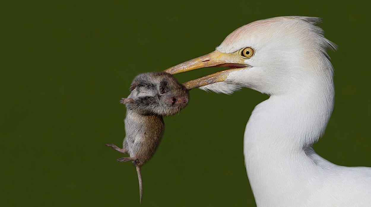 koereiger-muis---Lubbert-Spaanse