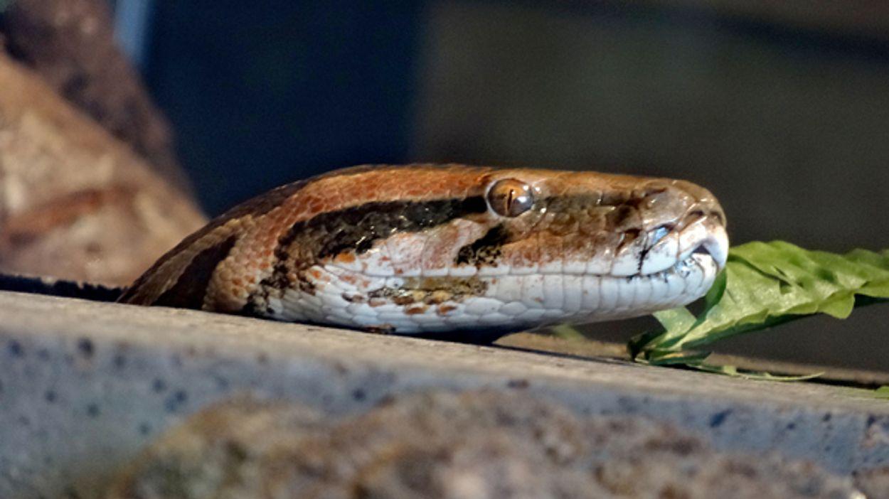 Afbeelding van Python krijgt drugs binnen via de huid