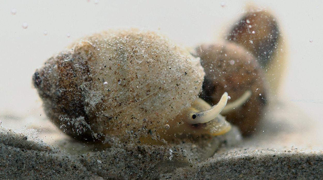 Afbeelding van Zeldzame slak in de Biesbosch
