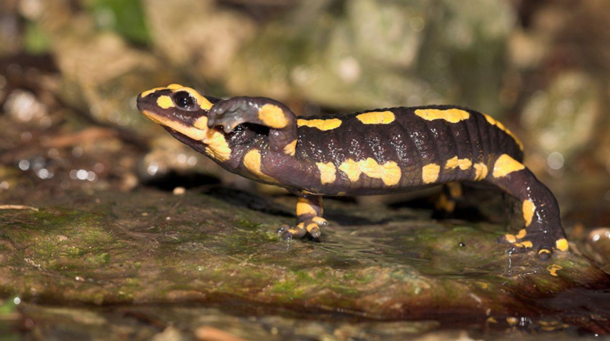 Afbeelding van Salamanders ernstig bedreigd door schimmel
