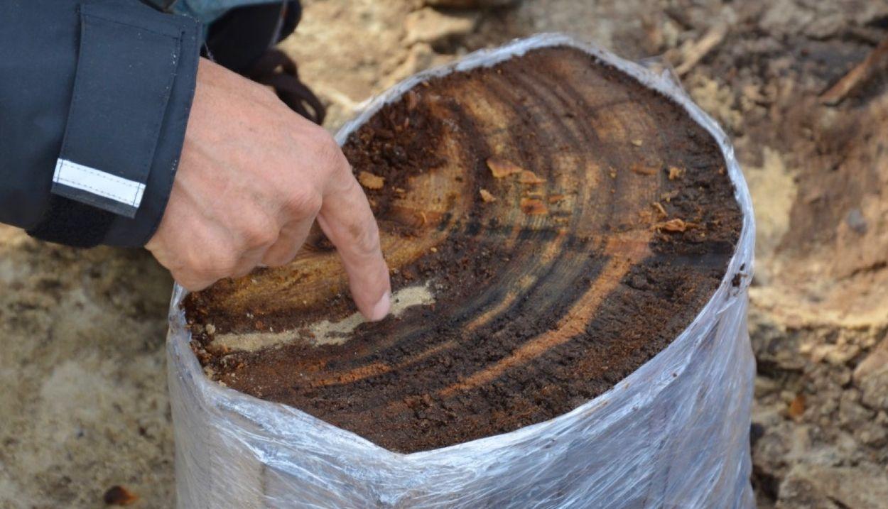 Afbeelding van 13.000 jaar oud dennenbos ontdekt