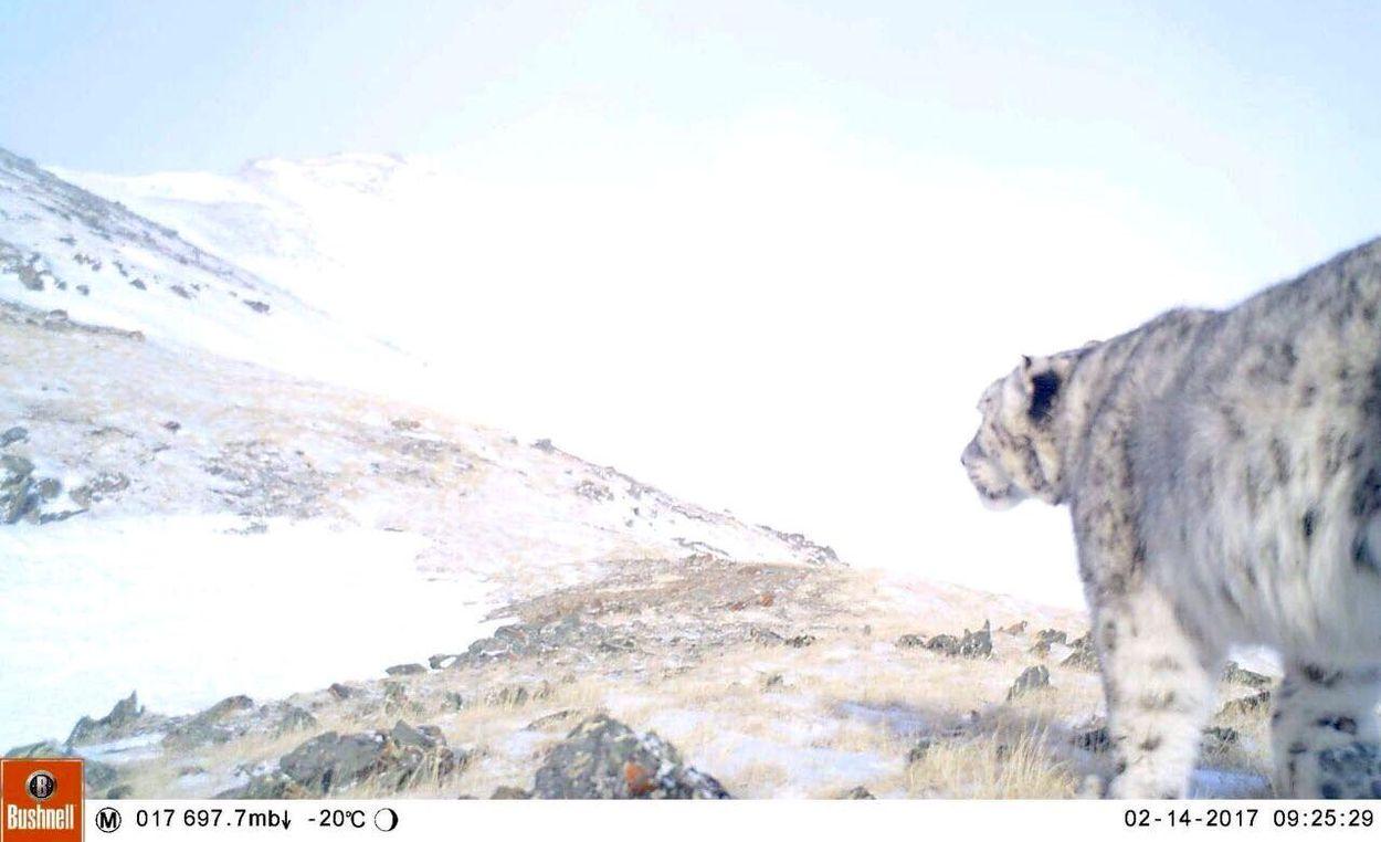 Afbeelding van Onderzoek naar sneeuwluipaard