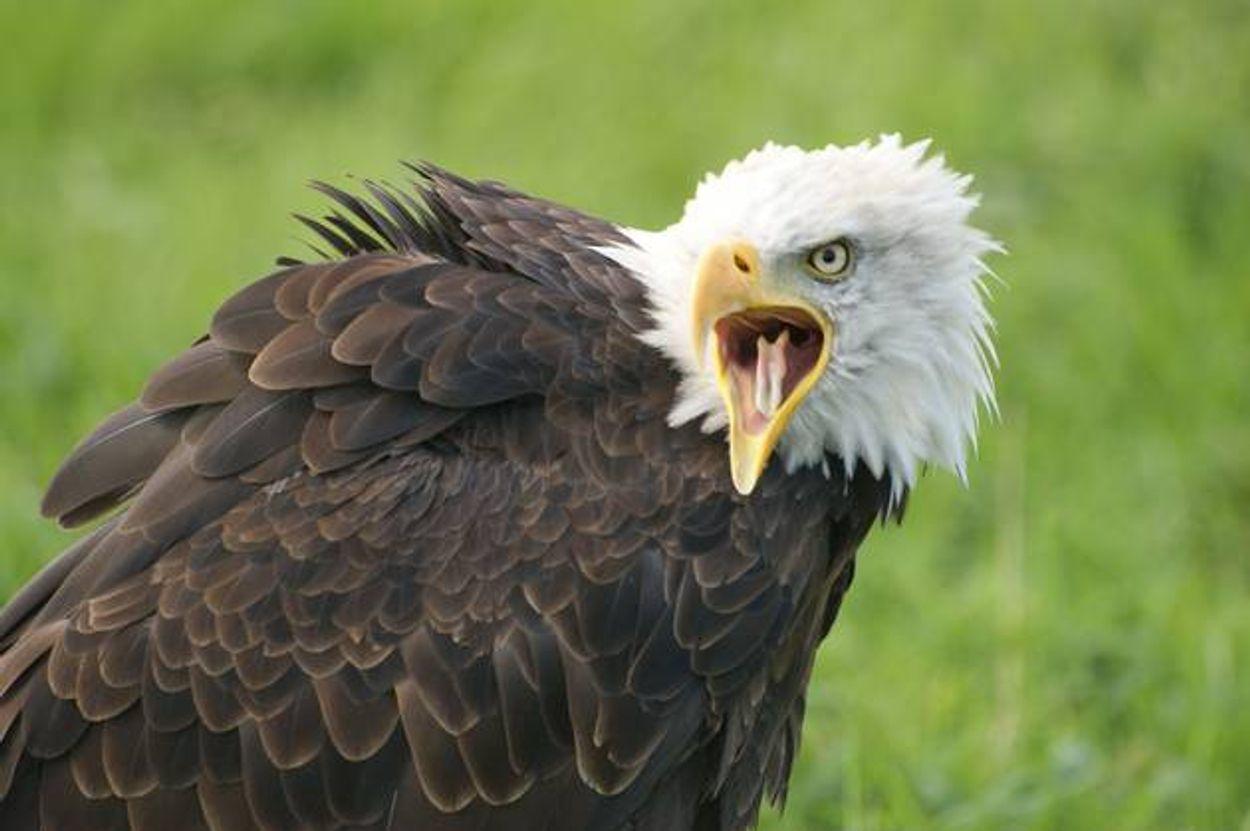 Afbeelding van Forse boete bij verstoring nest zeearend