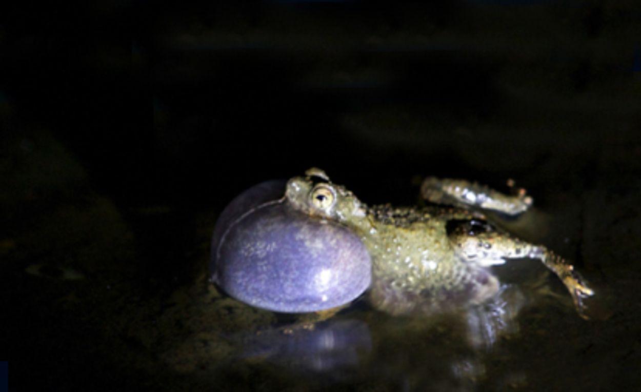 Afbeelding van Tungarakikker kwaakt beter in het water