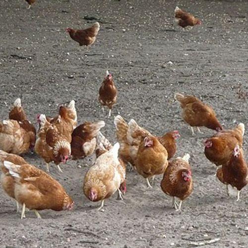 Afbeelding van Pluimveehouders moeten kippen nog vier weken binnenhouden