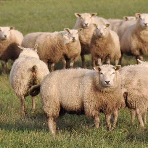 Afbeelding van Veel schapen doodgebeten in Friesland
