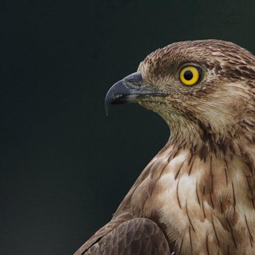 Afbeelding van Vogeltrekjournaal: wielewalen en wespendieven