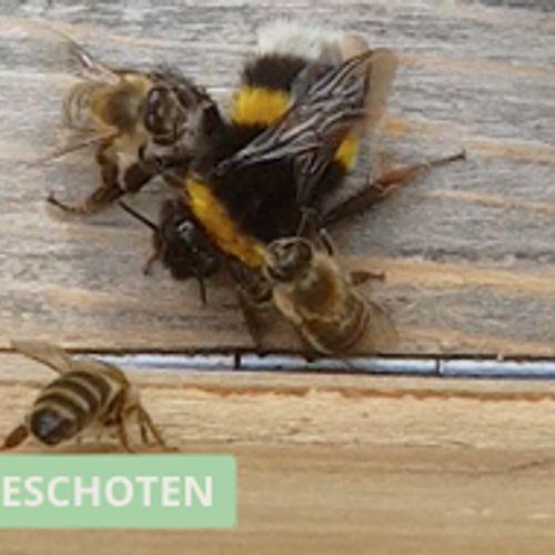 Afbeelding van Bijen vallen indringer aan