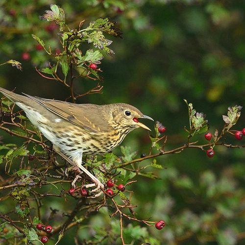 Afbeelding van Cursus Vogelzang: zanglijster