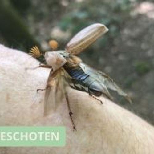 Afbeelding van De opvallende antennes van de meikever