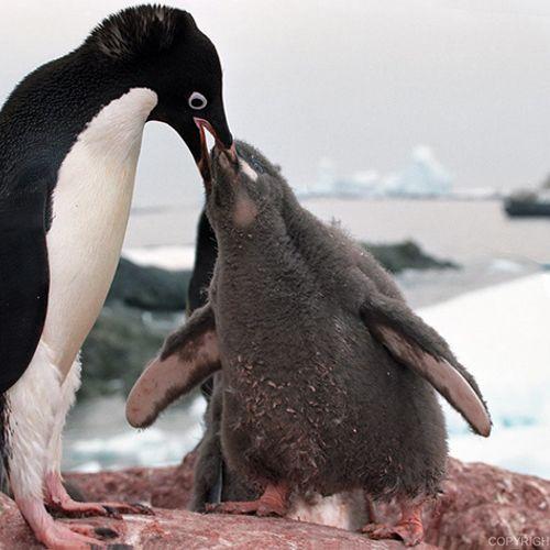 Afbeelding van Update: Groep van anderhalf miljoen pinguïns ontdekt