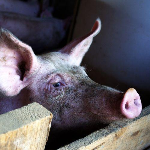 Afbeelding van Ruim 900 dode varkens in Winterswijk