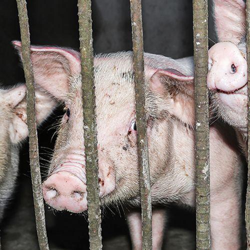 Afbeelding van Stop de kooien in de vee-industrie
