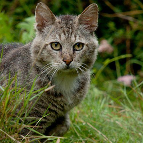 Afbeelding van Katten moeten binnen blijven, volgens het Europees natuurbeschermingsrecht