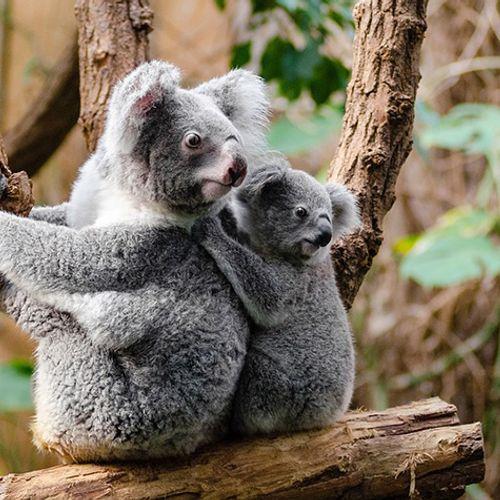 Afbeelding van Ophef om 'vastgeschroefde' koala in Australië