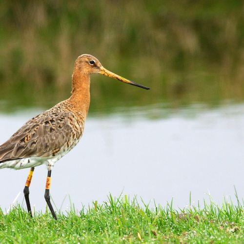 Afbeelding van Nationale vogel in vrije val