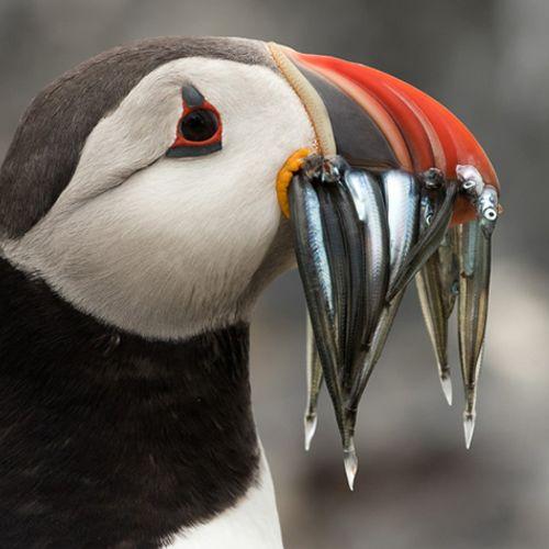 Afbeelding van Verrassing: veel papegaaiduikers geteld in Nederlandse Noordzee