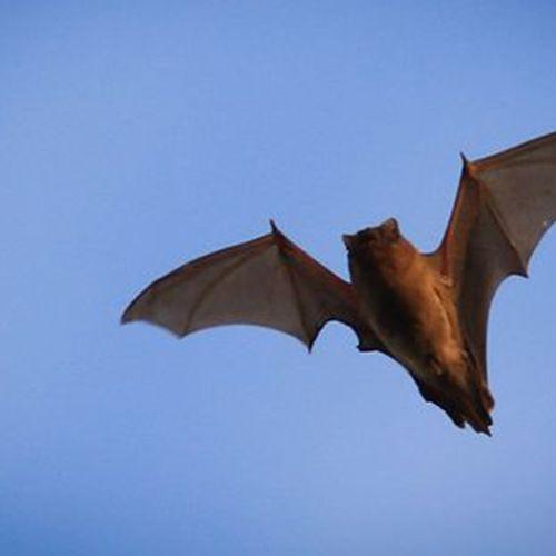 Afbeelding van Coronavirus waarschijnlijk afkomstig van vleermuizen