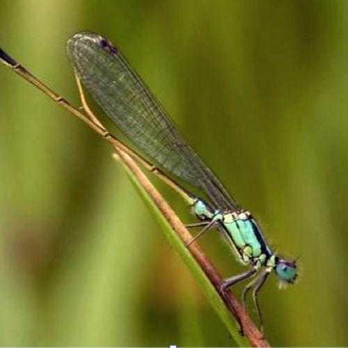 Afbeelding van Libellenonderzoekers luiden de noodklok