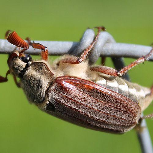 Afbeelding van Tijd voor meikevers