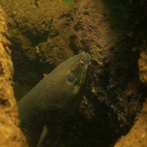 Afbeelding van Is het Monster van Loch Ness een paling?