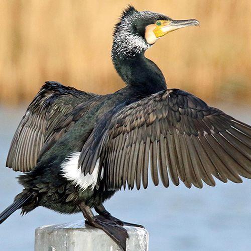 Afbeelding van Aalscholver: viezerik onder de vogels