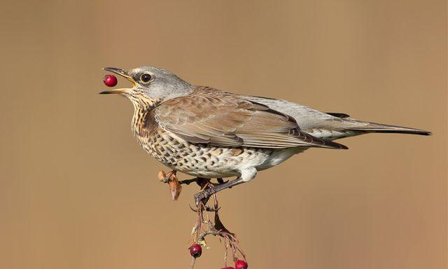 Afbeelding van Kramsvogels, pestvogels en kruisbekken. Waar zijn onze wintergasten?
